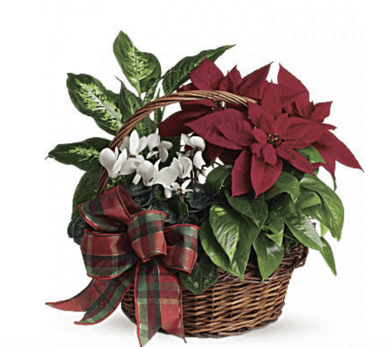 Poinsettia Day Is December 12th