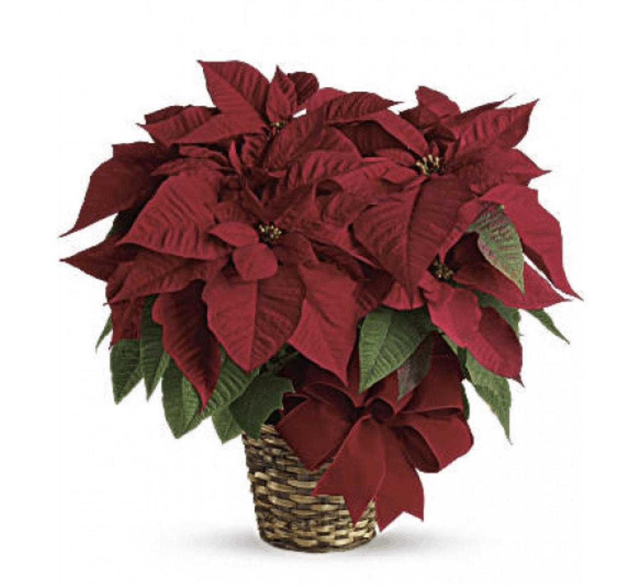 Celebrating Poinsettia Day on December 12th